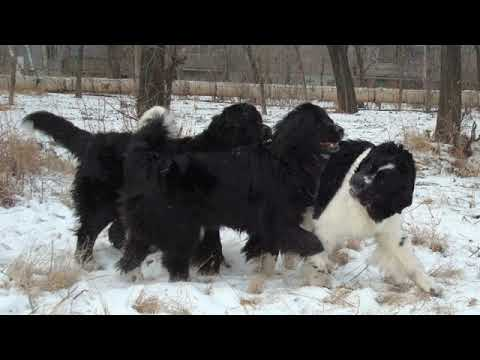 Moscow Water Dog - large dog breed