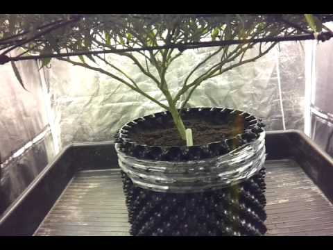 600w indoor grow tent S7 E4 day26 tangilope scrog & 600w indoor grow tent S7 E4 day26 tangilope scrog - YouTube