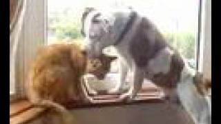 Staffordshire Bull Terrier Playing With Our Cat