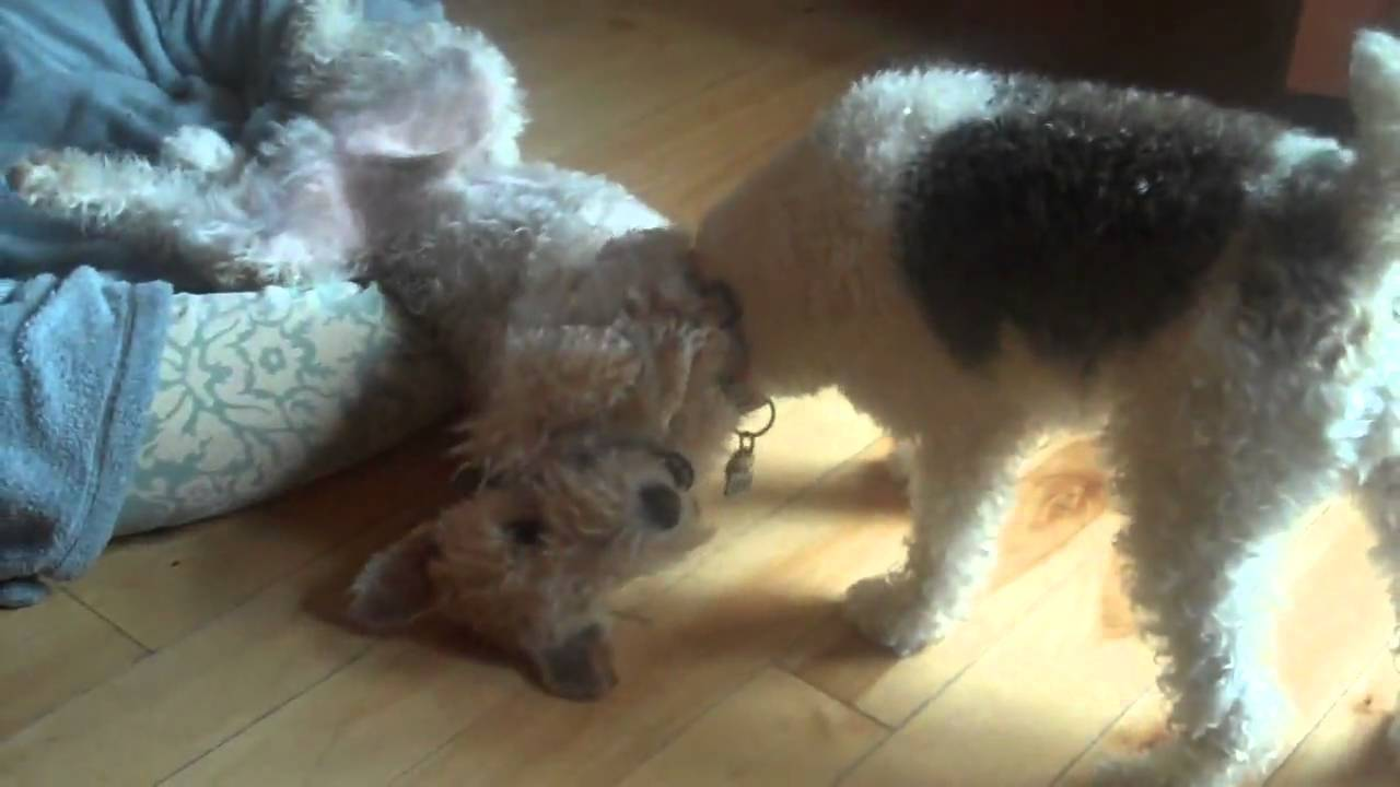 WIRE FOX TERRIER RESCUE MIDWEST - Join the Fun! - YouTube