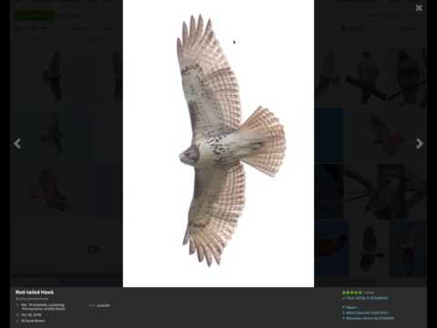 Identifying Juvenile Red-tailed Hawks