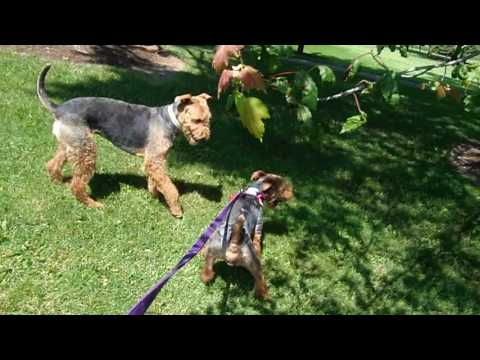 Welsh Terrier Zeus groomed 2016