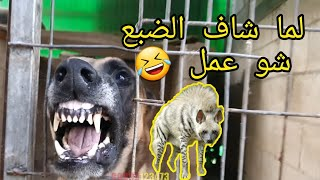 شاهد-بالفيديو-كلب-المالينوا-يهاجم-كل-شيء-ولما-شاف-الضبع-عمل-نفسه-مش-شايف-مع-جمال-العمواسي