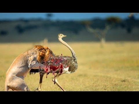 Lion kills an