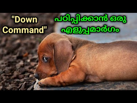 dog training : Down Command Malayalam : kerala dog training : വളര്ത്തു നായയെ പരിശീലിപ്പിക്കാം