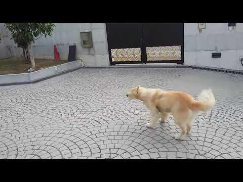 Golden retriever smart dog's jumping