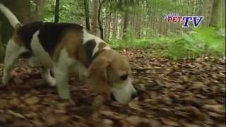 Beagle: Informationen Zur Rasse