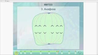 Клеточный цикл.Митоз