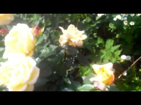 Очень красивые цветы и стихи Хризантемы