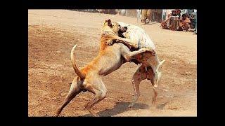 Bully Kuttaは、インド亜大陸の旧州パンジャブ地方に由来する犬種です。...