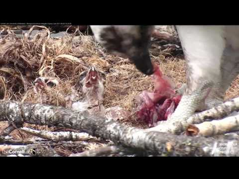 Osprey Chicks Fed Fresh Fish in Hellgate – June 8, 2017
