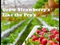 How to grow strawberries like the pros in this