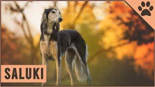 Saluki Dog Breed  The Persian Sighthound
