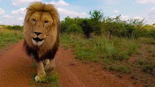 The Lost Vayetse Update | The Lion Whisperer