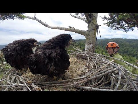 Humboldt Bay Eagles - Banding Day 2015