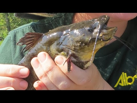 Black Bullhead Eradication