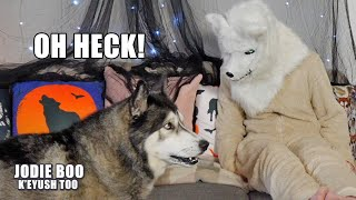 Surprised My Husky With Wolf Mask! He's Shocked!