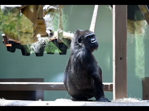 "Pregnant Knoxville Zoo gorilla ""Hope"" gets ultrasound"