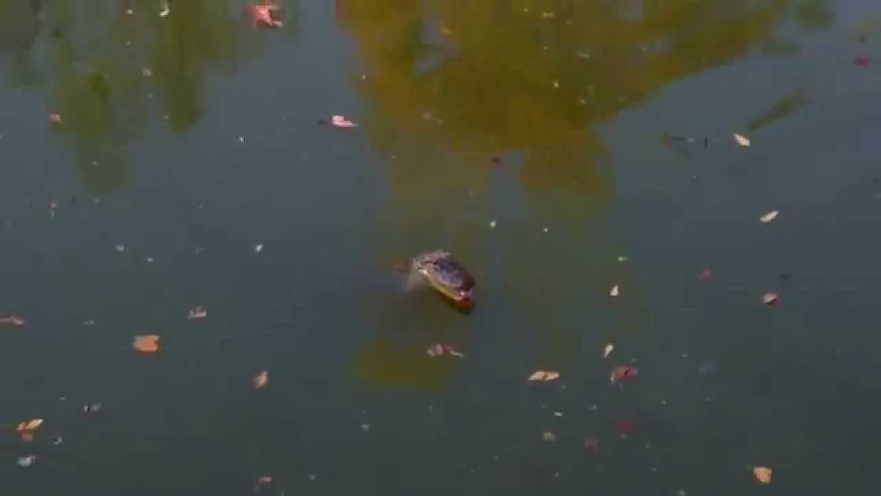 Baby alligator chases fishing tackle lake houston for Lake houston fishing report