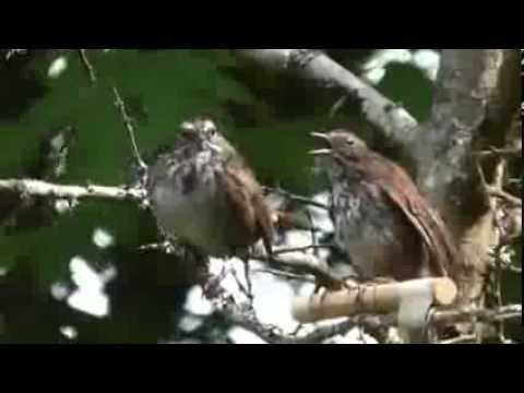 Individual differences affect honest signalling in a songbird.