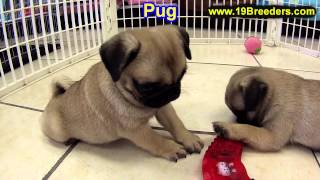 Pug, Puppies, For, Sale, In, East Honolulu, Hawaii, Hi, Makaha, Pukalani, Haiku Pauwela, Maili, Hawa