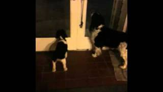 English Springer Spaniel Potty Training With a Bell