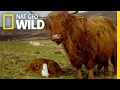 Highland Cattle Hide-and-Seek   Animal Moms
