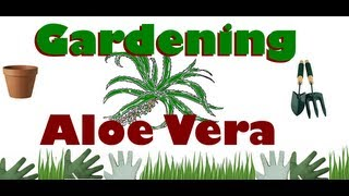 Aloe Vera Plant Care Tips- House Plant / Garden - Light, Water, Pots, Harvesting the gel & More