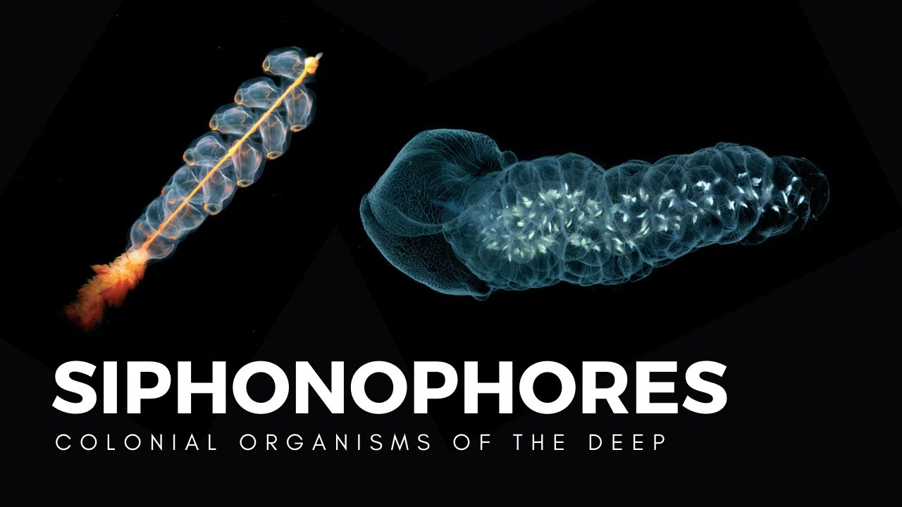 Siphonophores, Drifting Colonies of Life