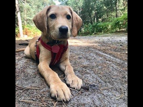 Rosie - 12 Week Old Labrador Puppy - 3 Weeks Residential Dog Training