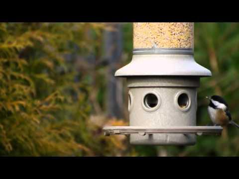 Backyard Bird Watching: Black-Capped Chickadee... Chickadee-dee-dee!!