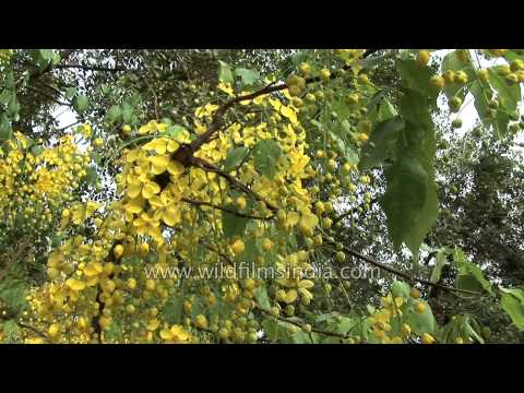 Profuse flowering of Golden Shower or Laburnum tree