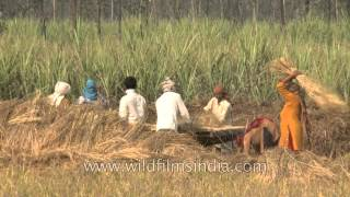 Threshing of rice in the fields of India