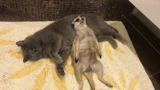 ミーアキャットが…最高の枕を見つけてしまう(動画)