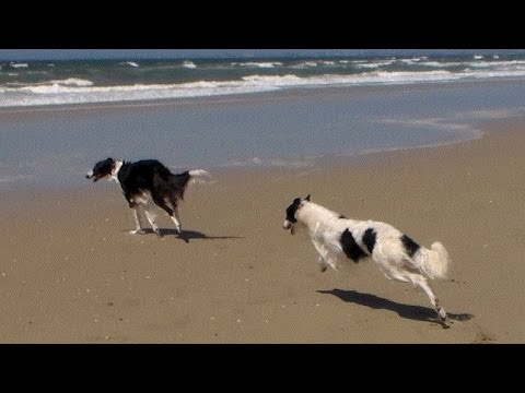 Borzoi running on the ...