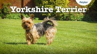 Yorkshire Terrier Dog | Lifespan, Temperament & More  | Petplan
