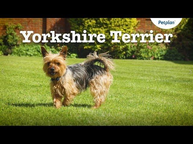 Yorkshire Terrier Dog Lifespan Temperament More Petplan Youtube