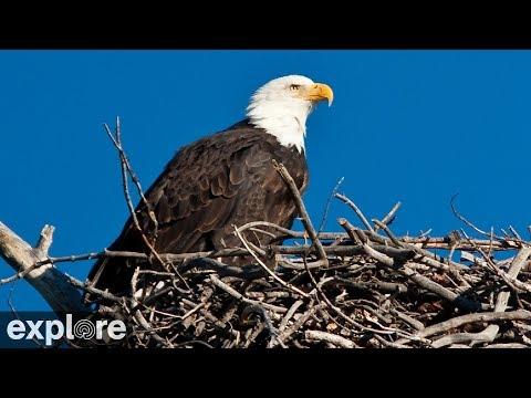 Bald Eagle Nest Cam - Sauces Eagles at Channel Islands NP