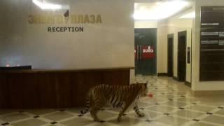 """Тигр играет в ТЦ """"Энергоплаза"""""""