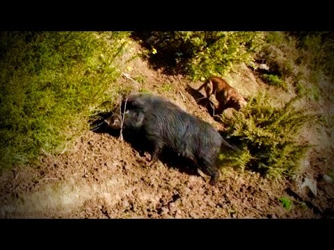 Hunting wild boar in New Zealand part 11