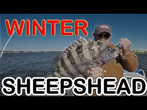 WINTER SHEEPSHEAD in FLORIDA