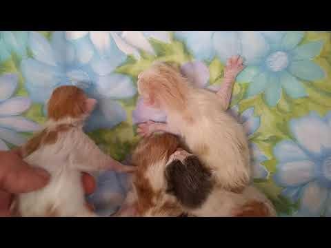 Kibi's Litter of 5 Japanese Bobtails born 3/30/19