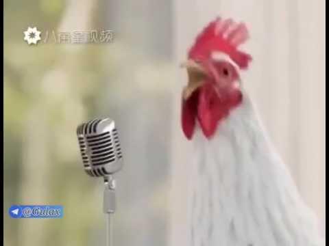 Çılgın tavukların şarkısı