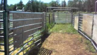 A Walk Through Cattle Corrals For Vaccinations