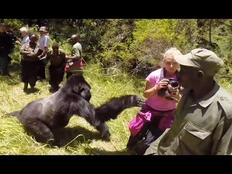 gorilla attacks woman on honeymoon safari tour