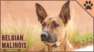 Belgian Malinois  Dog Breed Information | Dog World