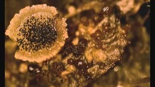 Ascobolus spores.wmv