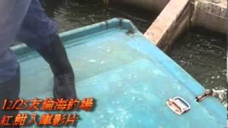 12月25日 友倫海釣場紅魽入庫影片