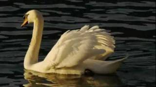 Mute Swans (Cygnus olor) / Höckerschwäne