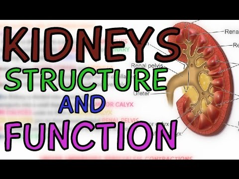 Structure and Function of the Kidneys - Introduction to the Kidneys ...